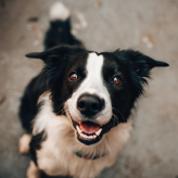 Border collie looking a camera